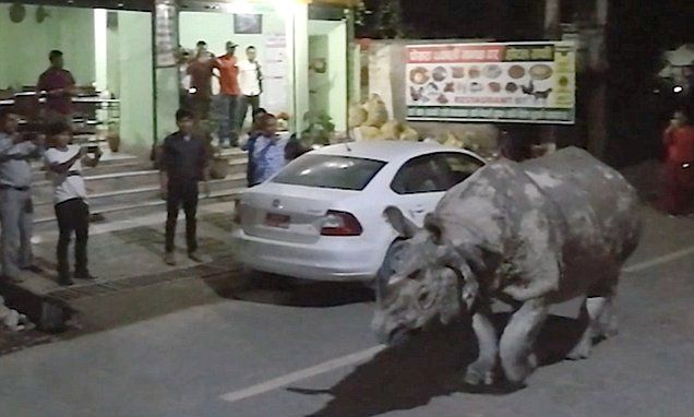 Huge rhino casually strolls down the high street in a small town