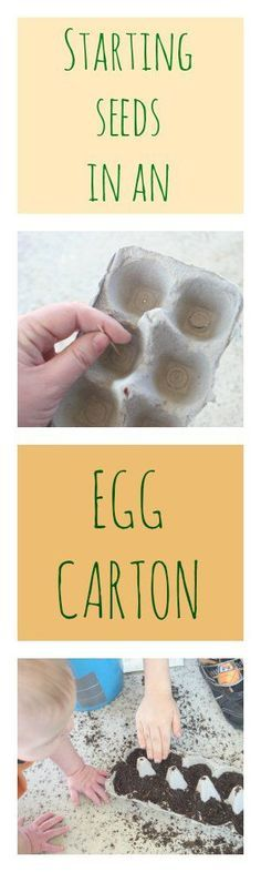 Learn how to start seeds in an egg carton. This is a great pin for spring coming, perfect seed propagating season. You might end up with a glorious garden full of beautiful flowers or vegetables!