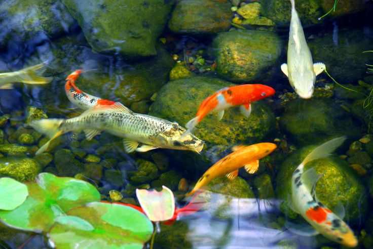 Photography of Koi Fish In a Pond - Yahoo Image Search Results