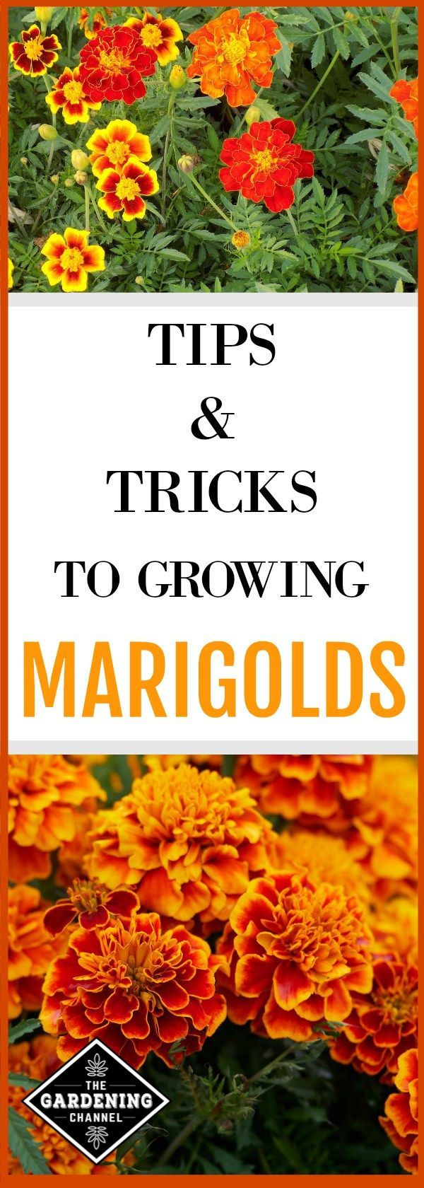 Grow Marigolds in your flower garden with these gardening tips. Also, learn how to grow Marigolds as a companion plant. #OrganicGardeningTips