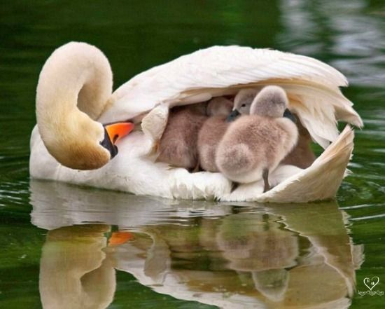 The most precious cargo of any mother is her newborns, here the love of the mother swan speaks of the devotional love that pours over her babies