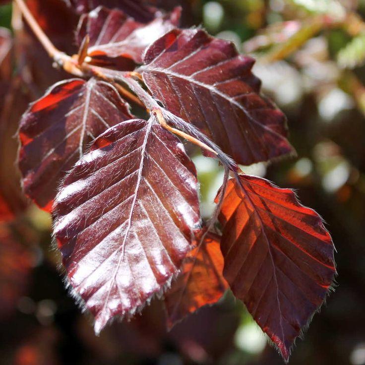 Bildresultat för fagus sylvatica purpurea