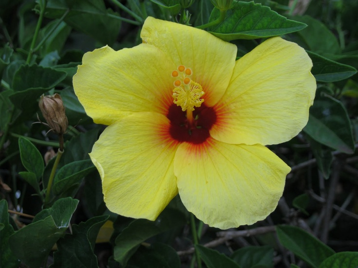 Hibiscus Are Very Beautiful With Yellow And Red 49