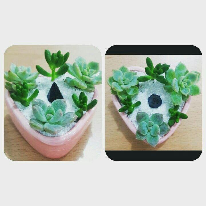 Suculentas. Baby succulents.