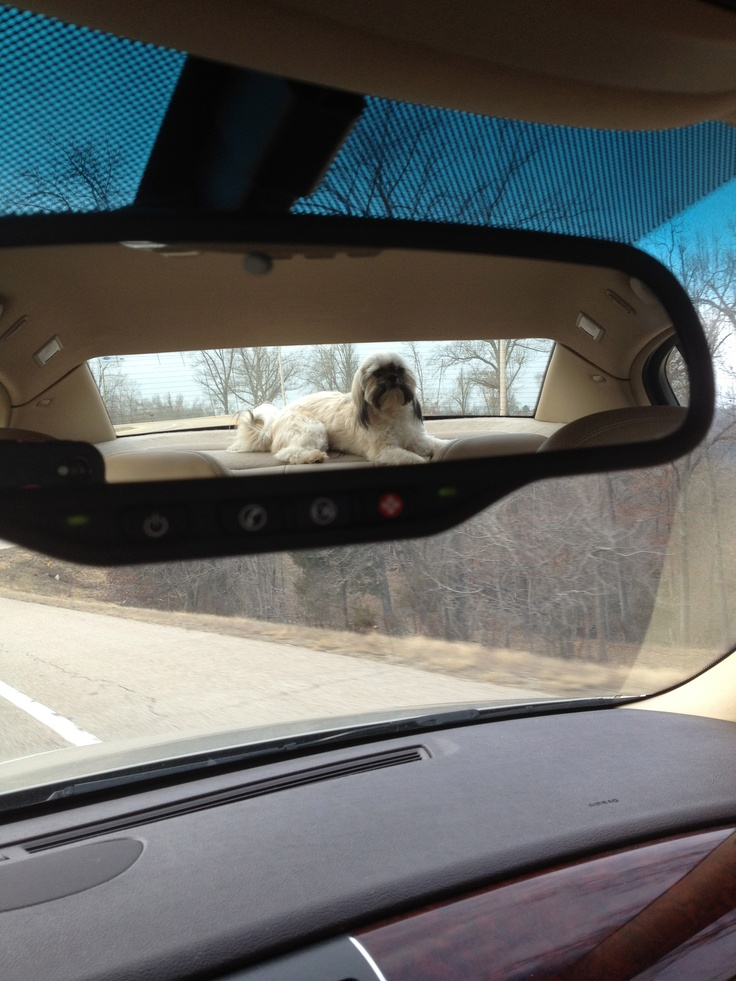 Thought this was a cool picture of hubbys shih-tzu: Cool Pictures, Hubbys Shih Tzu, Cutest Animals, Thought