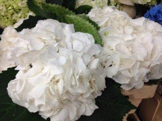 HORTENSIA AUDA, Grossiste fleurs coupees, plantes, vegetaux - Pepiniere Jardinerie Détail d'une plante