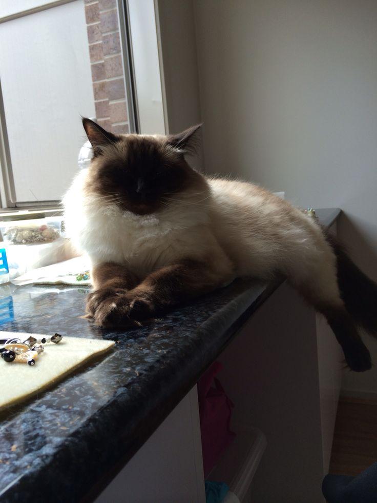 "Sasha the studio ""manager"" interrupting work #cat #ragdoll #manager #trouble #GGJewellery"