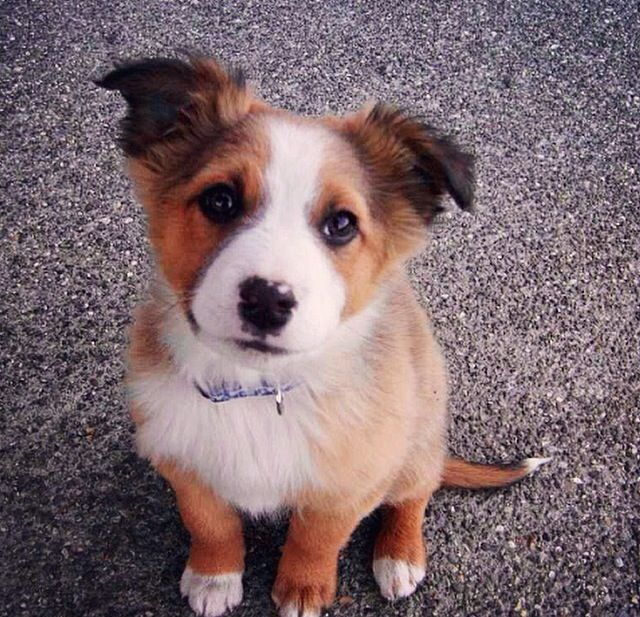 another border collie, husky mix!