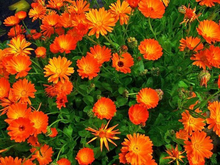 plante plein soleil propriétés-décoratives-médicinales-souci-Calednula