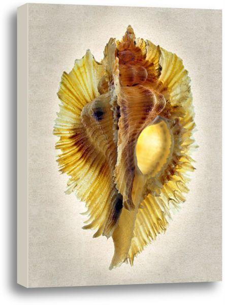 Picture of Miyoko Murex. #coastal #beach #beachhouse #wallart #homedecor #beachdecor #shells