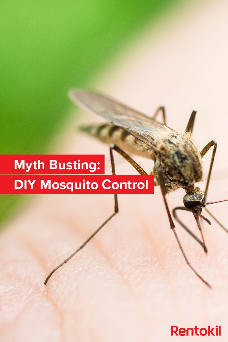 How effective are common home remedies and DIY solutions for mosquitoes? Find out in our new blog! #Mosquitoes #DIY