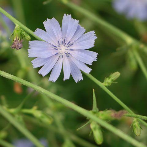 Unkraut Und Wildpflanzen Wegwarte Pflanzen Unkraut