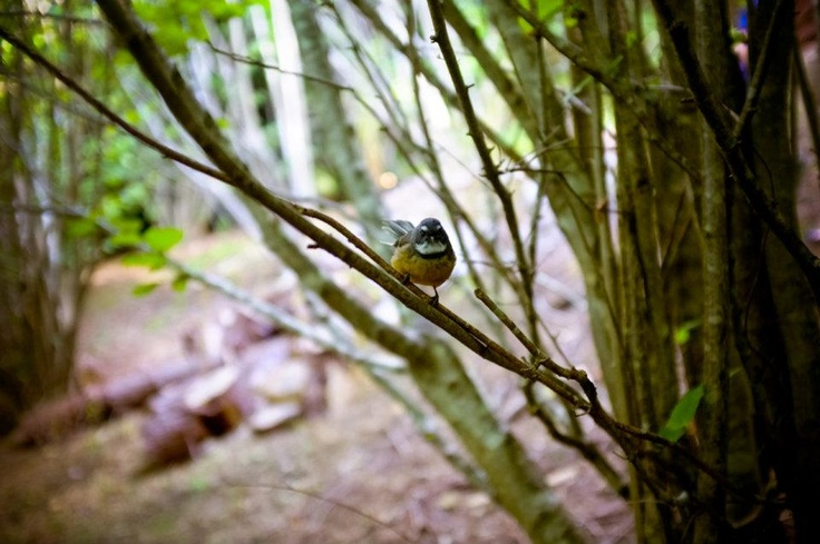 Friendly fantail in the hazelnut forest on our hill