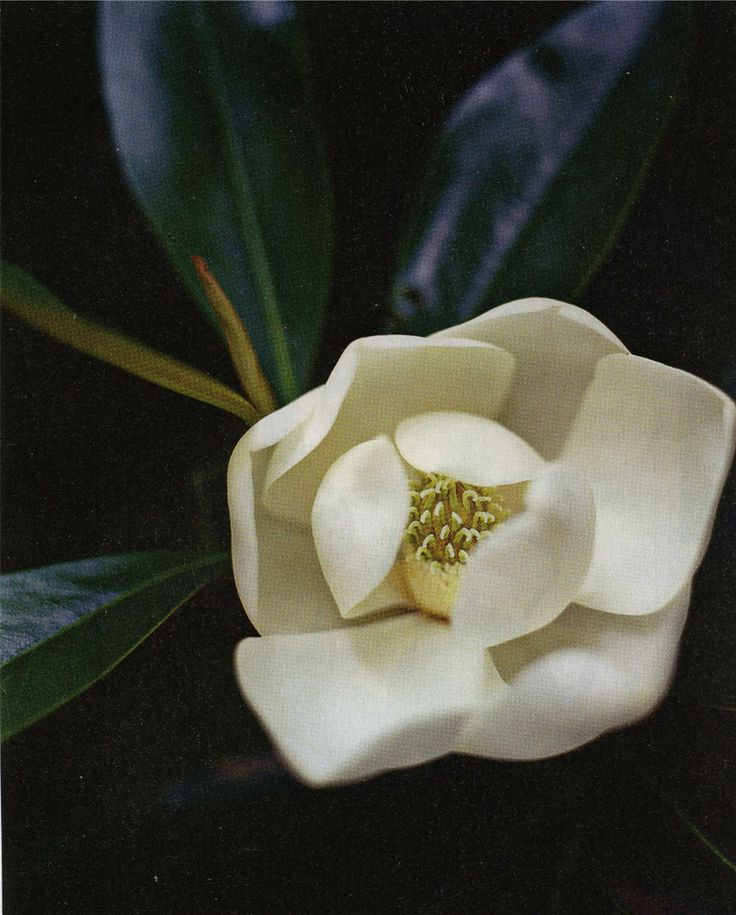 Magnolia Little Gem Flower