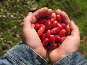 Miracle Fruit, a Miraculous Berry-Bearing Shrub (Synsepalum dulcificum)