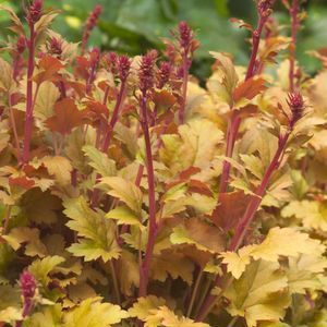 Captivating Buy Heuchera Amber Waves Perennial Plants Online. Garden Crossings Online  Garden Center Offers A Large Selection Of Coral Bells Plants.