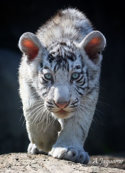 those eyes!: White Tigers, Big Cat, Cat Eye, Beautiful, Tiger Cubs, Amazing Animal, Tigers Cubs, Into The Wild, Green Eye