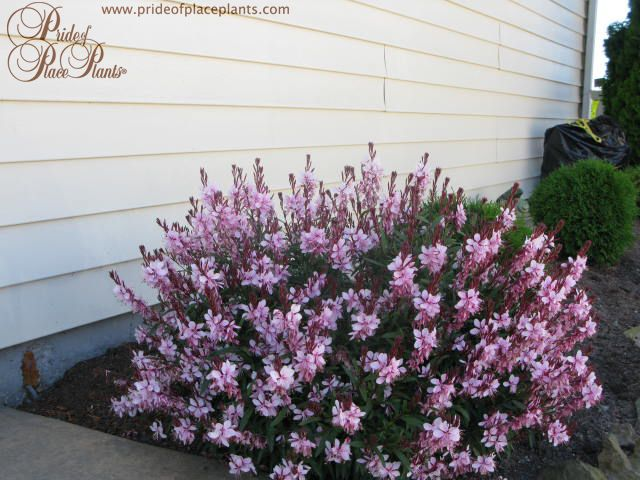 1000 Images About Gaura Varieties From Popp On Pinterest 400 x 300