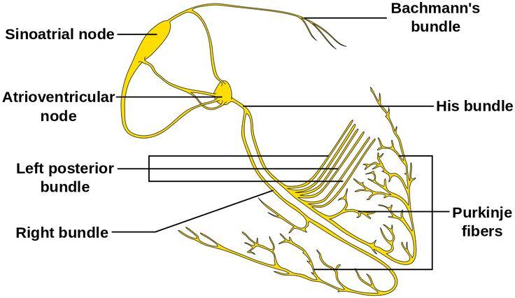 Isolated Heart conduction system, showing SA node via Sinoatrial node Wikipedia | 單獨的心臟傳導系統,顯示竇房結 via 竇房結英文維基百科 | Pinned Time: 20141130 01:43, Sun., Taipei Time.