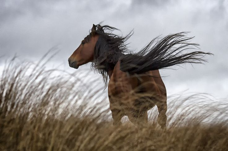 Wild Kaimananwa Horse - New Zealand