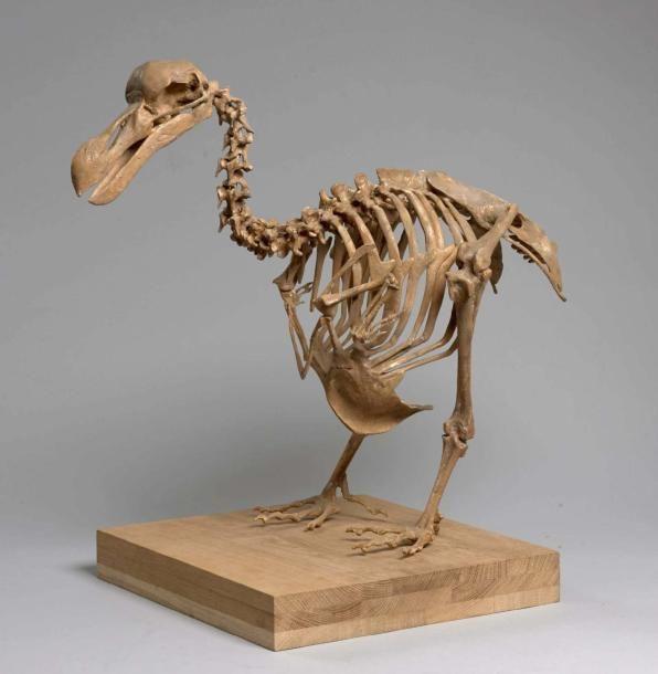 SQUELETTE MOULE DE DODO en résine. Le moulage a été réalisé sur le spécimen du Musée d'Amsterdam. 66 x 26 cm. Vente aux #encheres du 19/05/14 par ArtCurial