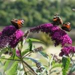 How to prune butterfly bush