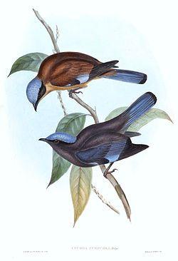 La Cochoa Púrpura, Cochoa purpurea es una especies de ave de la familia Turdidae. Se puede encontrar en Bangladés, Bhutan, China, India, Laos, Birmania, Nepal, Tailandia, y Vietnam. Su hábitat natural on los bosques de las tierras bajas y montañas tropicales y subtropicales.