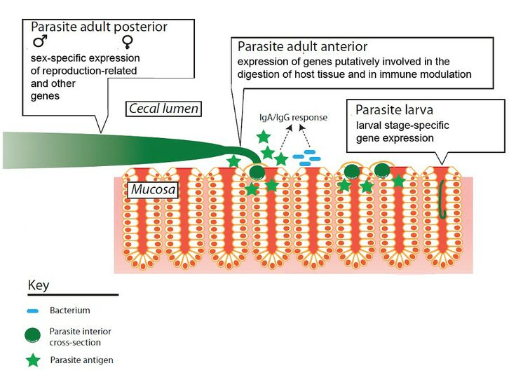 Exploring a Parasitic Tunnel Boring Machine— Parasitic worm genome and biology provides a solid basis for the development of new interventions