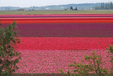 My dad's tulip fields