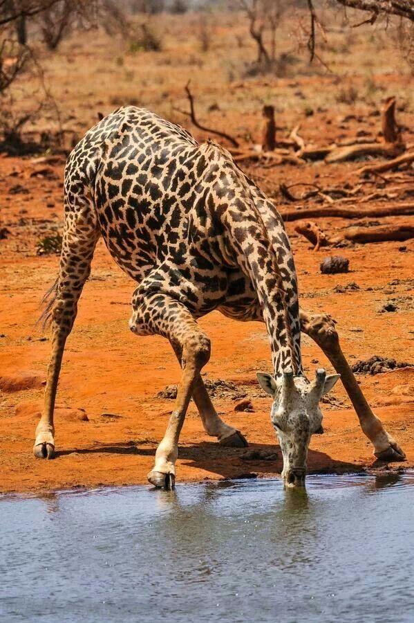 Giraffe drinking water