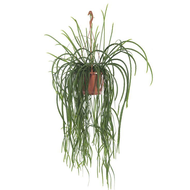 Deze cactus zonder stekels is een prachtige voluptueuze hangplant die een lege hoek mooi opvult en een tropische sfeer creëert.     Levertijd: 2-5 werkdagen.  Let op! Planten kunnen niet geretourneerd worden.