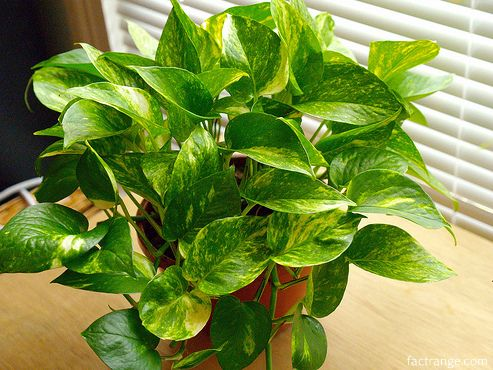 Best air purifying house plants bamboo palm scientific name chamaedorea snake plant scientific - Name of house plants ...