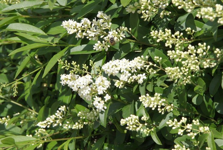 Ligustrum plants, also known as privets, tolerate a wide range of conditions and are among the easiest shrubs and small trees to grow. Learn more about planting ligustrum shrubs and their care in this article.