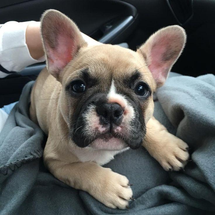 Frenchie Shirt Order here: https://www.sunfrog.com/JohnyD/french bulldog #Buldog