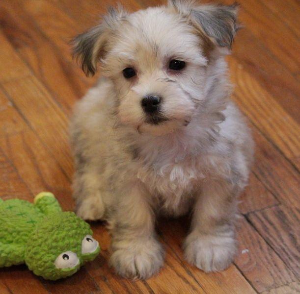 Havanese Puppies For Sale In Colorado USA