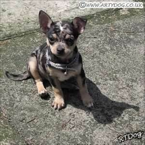 this is exactly what my Chihuahua looked like as a puppy!