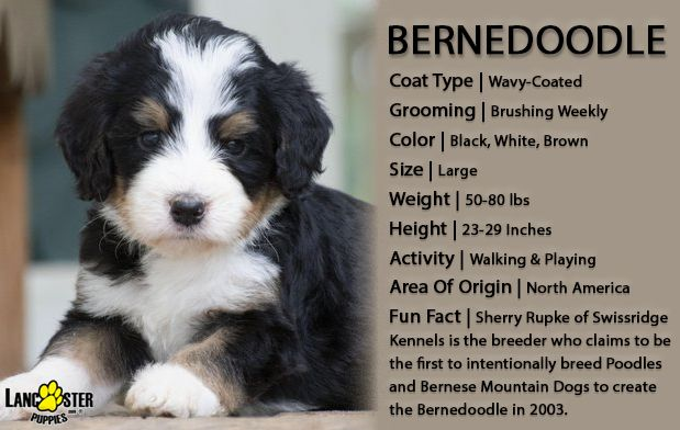 Bernedoodle Puppies For Sale Bernedoodle Bernedoodle Puppy Puppies