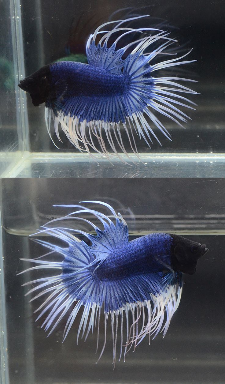 139 best betta tropical fish images on pinterest for Deep blue fish tanks