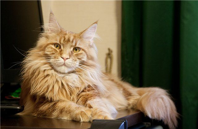 Maine coon cat calms my heart  i must have you