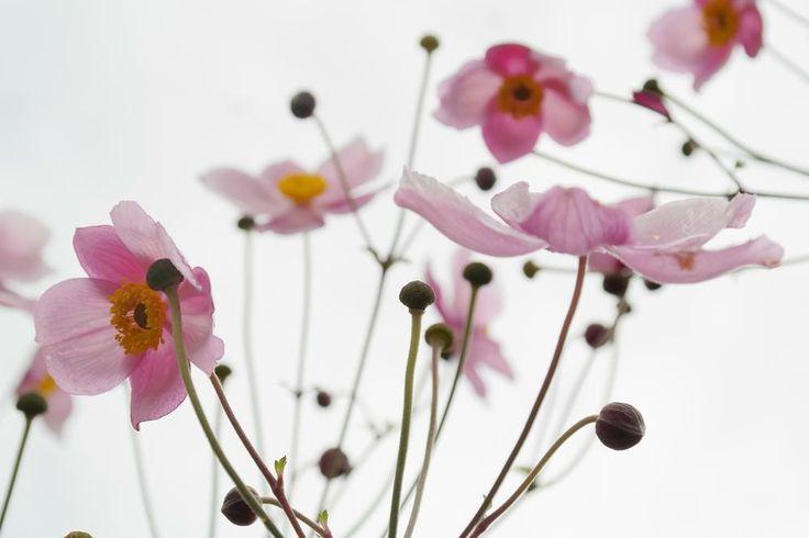 Anemun, zawilec, Fot. Gardenarium, Alamy/BEW, Shutterstock, Pixabay #kwiaty #rośliny #zawilec #różowy #rośliny #kwiat #flower