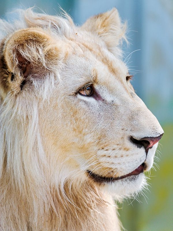Very Pretty White Lion: Photos, White Lions,  King Of Beasts, Pretty White, Posts,  Panthera Leo, Felinidae Lions