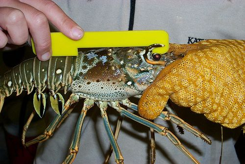 FLORIDA DIVERS: Check out this post on the rapidly approaching Mini lobster fishing season, commencing July 29, and get ready for some bug hunting! http://www.leisurepro.com/blog/scuba-diving-stories-news/get-ready-for-floridas-mini-lobster-fishing-season/