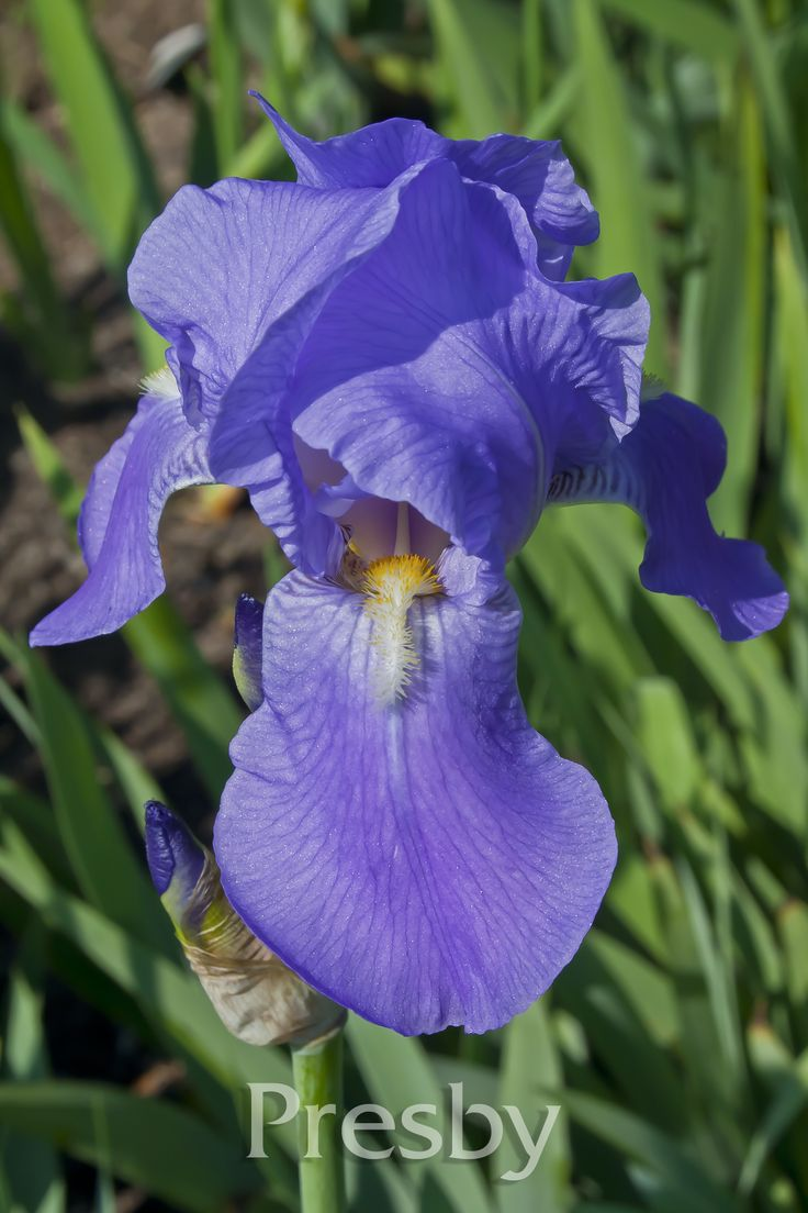 23 best great grandmas iris sale images on pinterest irise odoratissima izmirmasajfo