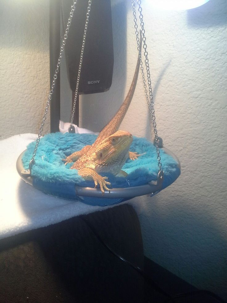 Iggy the bearded Dragon. . His hammock is American doll chair.