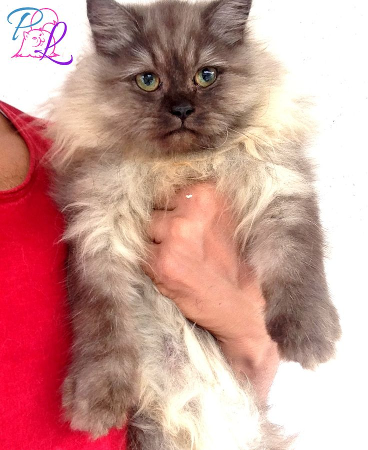 PURE BREED PERSIAN KITTENS!!! We will not sell to any pet stores.. Only for Loving Homes... Inbox for further details..