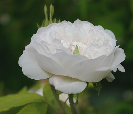 Madame Hardy-- a damask rose that dates back to 1832. If you've ever smelled a damask rose, they're intoxicating! They make perfumes from this and the other damask varieties. Want want want want want.
