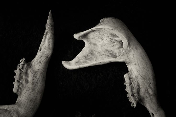 A still life study of wallaby bones, picked clean, at Blanket Gully in Central Victoria, Australia.