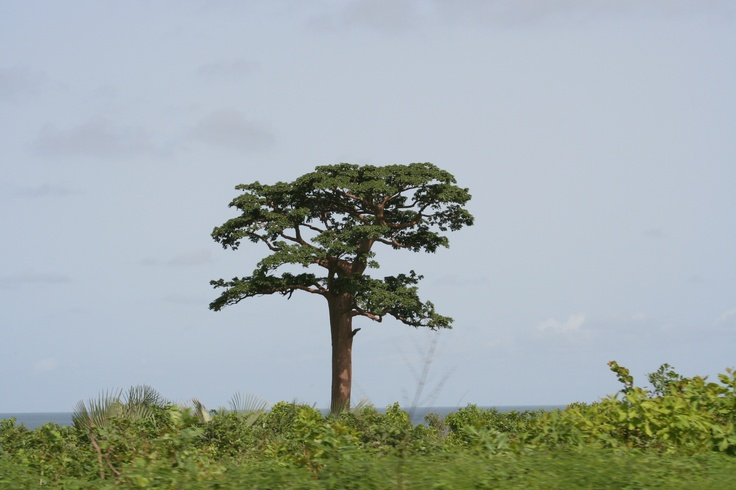 The Gambia Tree