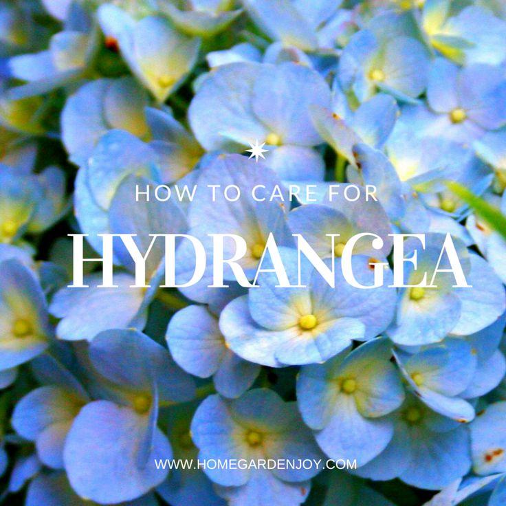 plantas cuidado hortensias hortensias crecimiento jardinera en el interior jardines de jardinera jardinera en macetas hydrangeas hoorah