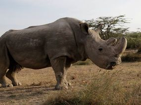 SUDAN the last male northern white rhino has died aged 45 in Kenya. Sudan's death means only two northern white rhinos remain alive – his daughter Najin, 27, and her daughter Fatu, 17.